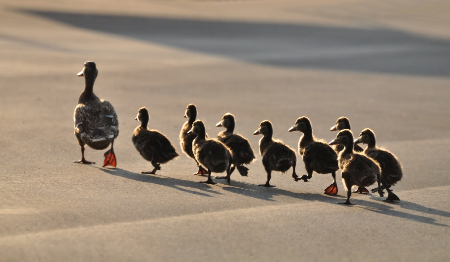 Mother duck with ducklings crossing a road